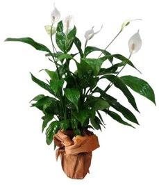 Orta boy barış çiçeği limon çiçeği  Kıbrıs online çiçek gönderme sipariş