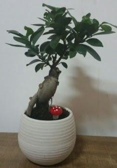 Bonsai japon ağacı saksı çiçeği  Kıbrıs çiçek gönderme