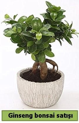 Ginseng bonsai japon ağacı satışı  Kıbrıs çiçek , çiçekçi , çiçekçilik