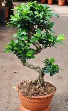 Orta boy bonsai saksı bitkisi  Kıbrıs online çiçek gönderme sipariş