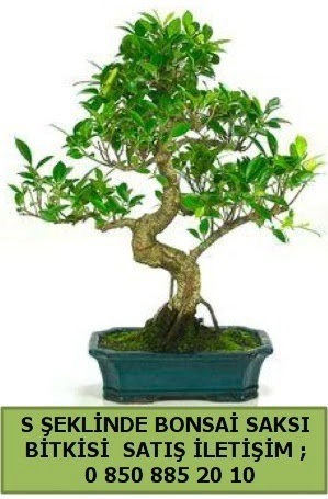 İthal S şeklinde dal eğriliği bonsai satışı  Kıbrıs çiçek satışı
