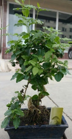 Bonsai japon ağacı saksı bitkisi  Kıbrıs cicek , cicekci