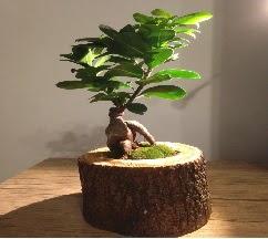 Doğal kütükte Bonsai japon ağacı satışı  Kıbrıs internetten çiçek siparişi