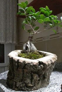 Ahşap kütük içerisinde ginseng bonsai  Kıbrıs online çiçek gönderme sipariş
