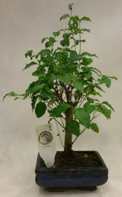 Minyatür bonsai japon ağacı satışı  Kıbrıs çiçek , çiçekçi , çiçekçilik