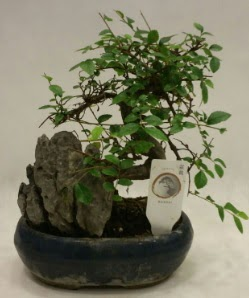 İthal 1.ci kalite bonsai japon ağacı  Kıbrıs ucuz çiçek gönder