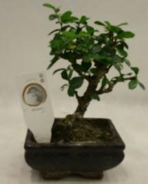 Küçük minyatür bonsai japon ağacı  Kıbrıs çiçek satışı