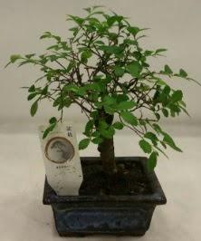 Minyatür ithal japon ağacı bonsai bitkisi  Kıbrıs ucuz çiçek gönder