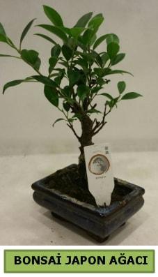 Bonsai japon ağacı saksı bitkisi  Kıbrıs kaliteli taze ve ucuz çiçekler