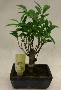 Japon ağacı bonsai bitkisi satışı  Kıbrıs çiçek , çiçekçi , çiçekçilik