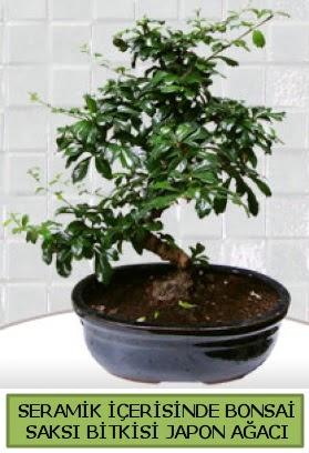 Seramik vazoda bonsai japon ağacı bitkisi  Kıbrıs çiçekçiler