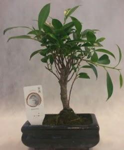 Bonsai japon ağacı bitkisi satışı  Kıbrıs çiçek gönderme