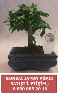 Japon ağacı minyaür bonsai satışı  Kıbrıs ucuz çiçek gönder