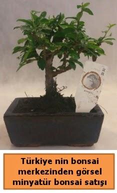 Japon ağacı bonsai satışı ithal görsel  Kıbrıs çiçekçi telefonları