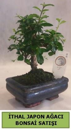 İthal japon ağacı bonsai bitkisi satışı  Kıbrıs çiçek , çiçekçi , çiçekçilik