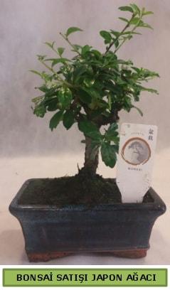 Minyatür bonsai ağacı satışı  Kıbrıs çiçek satışı