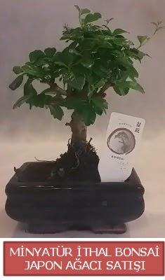 Küçük görsel bonsai japon ağacı bitkisi  Kıbrıs hediye çiçek yolla