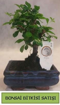 Bonsai ithal görsel minyatür japon ağacı  Kıbrıs çiçekçi mağazası