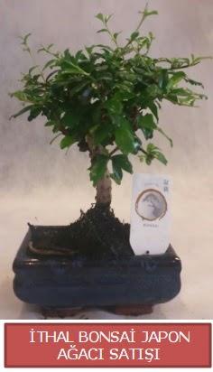 İthal küçük boy minyatür bonsai ağaç bitkisi  Kıbrıs çiçek , çiçekçi , çiçekçilik