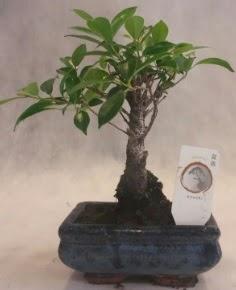 Bonsai ağacı japon ağaç bitkisi  Kıbrıs çiçekçi telefonları