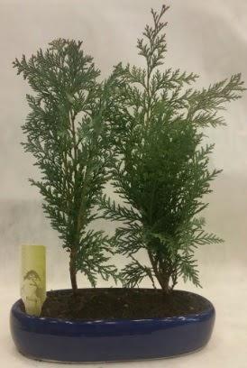 SINIRLI SAYIDA Selvi Ağacı bonsai ikili  Kıbrıs çiçek , çiçekçi , çiçekçilik