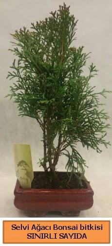 Selvi ağacı bonsai japon ağacı bitkisi  Kıbrıs ucuz çiçek gönder