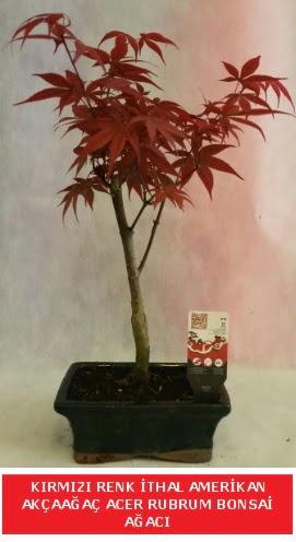 İTHAL ACER RUBRUM BONSAİ AĞACI  Kıbrıs çiçek gönderme