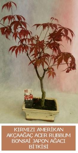 Amerikan akçaağaç Acer Rubrum bonsai  Kıbrıs anneler günü çiçek yolla