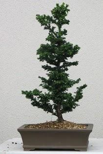 Çam ağacı bonsai bitkisi satışı  Kıbrıs çiçek , çiçekçi , çiçekçilik