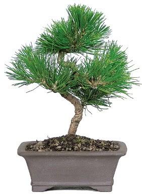 Çam ağacı bonsai japon ağacı bitkisi  Kıbrıs çiçek satışı