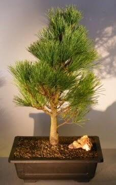 Çam ağacı japon ağacı bitkisi bonsai  Kıbrıs çiçek , çiçekçi , çiçekçilik