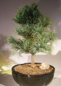 Çam ağacı bonsai bitkisi satışı  Kıbrıs çiçekçi mağazası