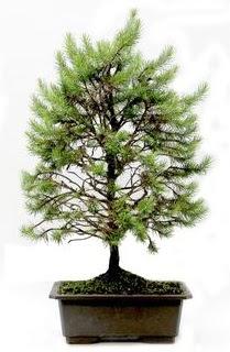 *** STOKTA YOK - Çam ağacı bonsai bitkisi satışı  Kıbrıs 14 şubat sevgililer günü çiçek