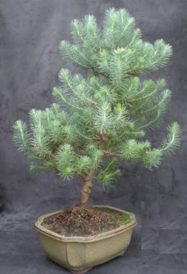 Bonsai çam ağacı japon ağacı bitkisi  Kıbrıs çiçek gönderme