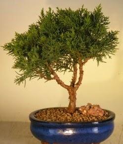 Servi çam bonsai japon ağacı bitkisi  Kıbrıs çiçekçi telefonları