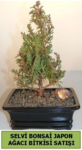 Selvi çam japon ağacı bitkisi bonsai  Kıbrıs çiçek , çiçekçi , çiçekçilik