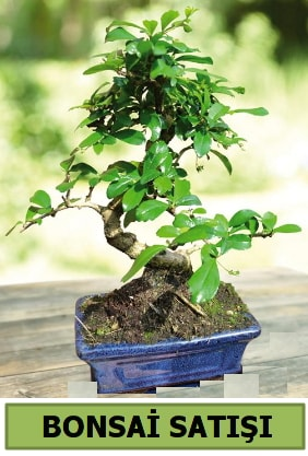 Çam bonsai japon ağacı satışı  Kıbrıs ucuz çiçek gönder