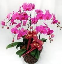 Sepet içerisinde 5 dallı lila orkide  Kıbrıs çiçekçi mağazası