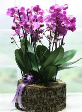 Kütük içerisinde 6 dallı mor orkide  Kıbrıs çiçekçi mağazası