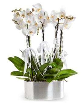 Beş dallı metal saksıda beyaz orkide  Kıbrıs çiçekçi telefonları