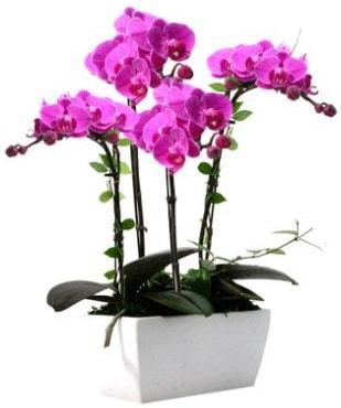 Seramik vazo içerisinde 4 dallı mor orkide  Kıbrıs ucuz çiçek gönder
