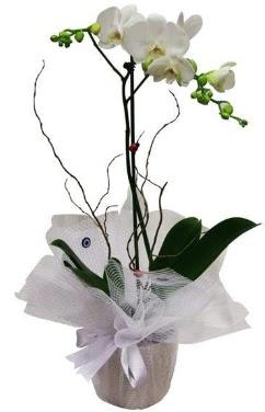 Tek dallı beyaz orkide  Kıbrıs uluslararası çiçek gönderme