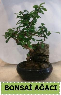 Bonsai ağacı japon ağacı satışı  Kıbrıs çiçek siparişi sitesi