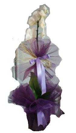 Tek dallı beyaz orkide süper kalite ithal  Kıbrıs çiçekçiler