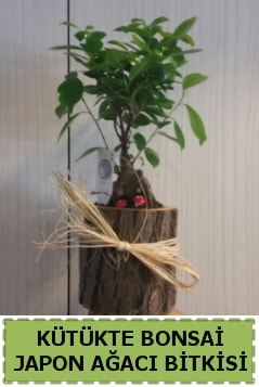 Kütük içerisinde doğal bonsai ağacı  Kıbrıs çiçek , çiçekçi , çiçekçilik