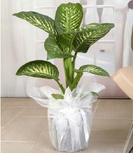 Tropik saksı çiçeği bitkisi  Kıbrıs ucuz çiçek gönder