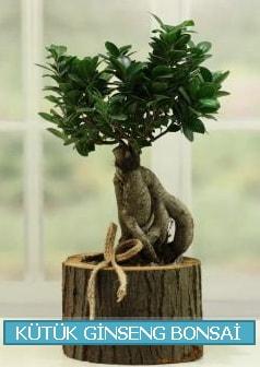 Kütük ağaç içerisinde ginseng bonsai  Kıbrıs çiçek gönderme
