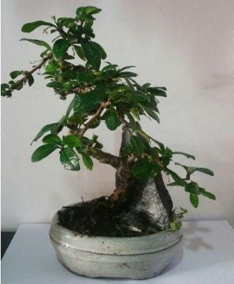 S şeklinde ithal bonsai ağacı  Kıbrıs çiçekçi telefonları