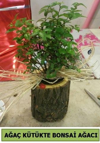 Doğal ağaç kütük içerisinde bonsai ağacı  Kıbrıs çiçek gönderme