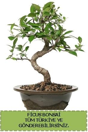 Ficus bonsai  Kıbrıs çiçek gönderme